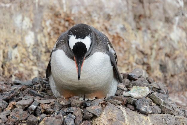 Filhotes de pingüim gentoo no ninho