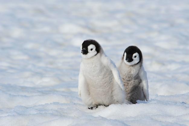 Filhotes de pinguim-imperador na antártica
