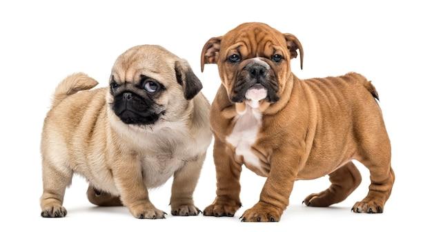 Filhotes de pug e bulldog lado a lado, isolados no branco