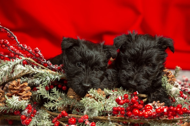 Filhotes de terrier escocês posando. bonitos cachorrinhos pretos ou animais de estimação brincando com a decoração de natal e ano novo.