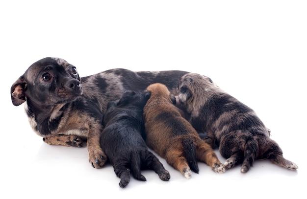 Filhotes e mãe chihuahua