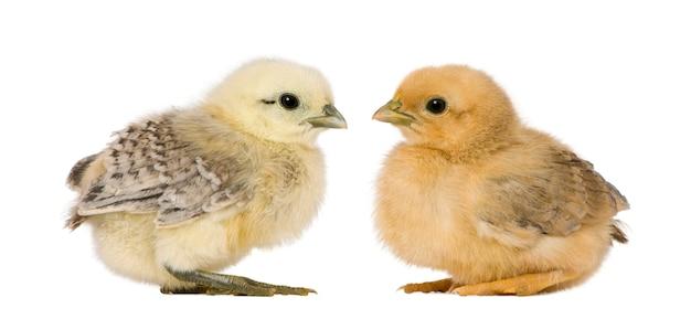 Filhotes em frente a fundo branco