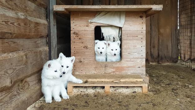 Filhotes fofos de um pastor suíço branco em uma cabine de madeira olhando para a câmera