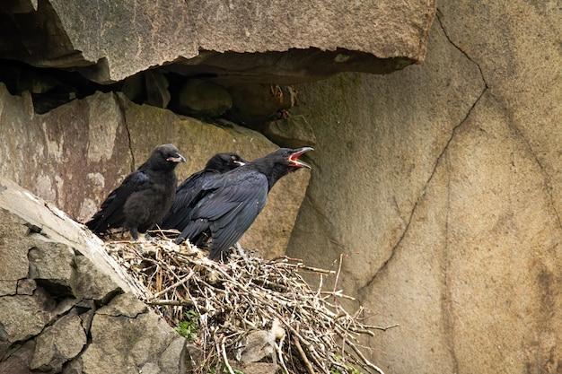 Filhotes juvenis de corvo comum sentados no ninho na encosta da montanha e esperando