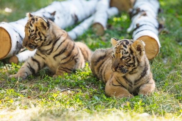 Filhotes selvagens na grama são fofos e engraçados