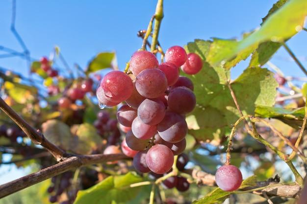 Filiais crescentes de uvas do vinho tinto.