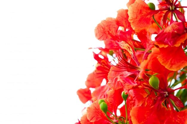 Filial da flor de laranjeira belas isolado no fundo branco