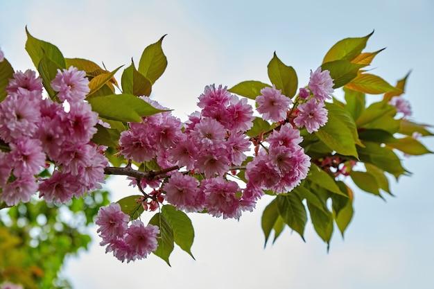 Filial da luiseania com flores cor de rosa em um fundo de céu azul