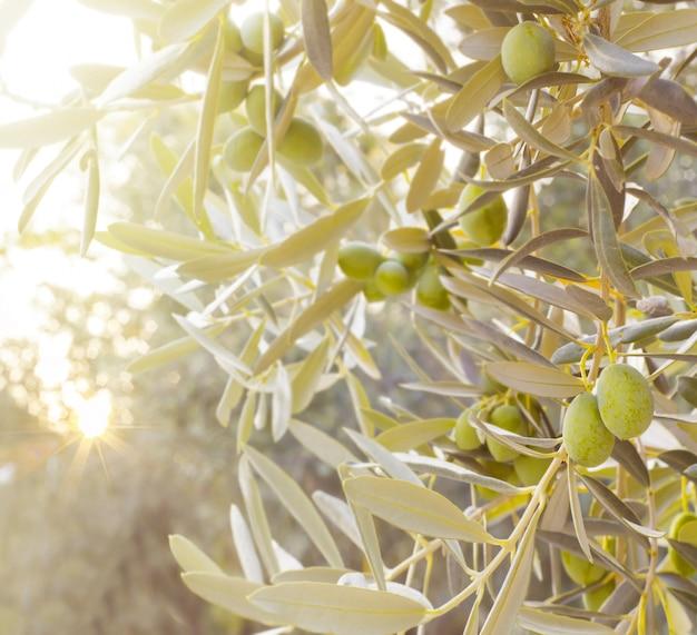 Filial de oliveira