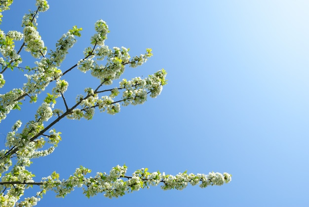 Filial de sakura