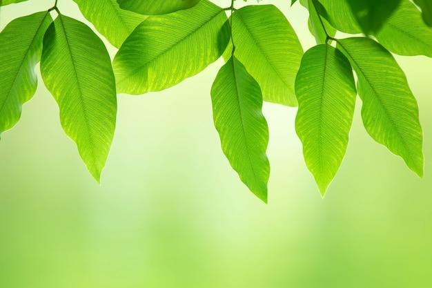 Filial de verão com folhas verdes frescas