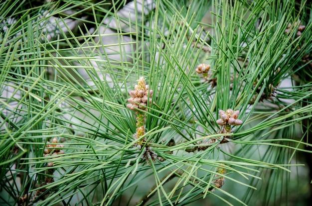 Filial do pinho no foco macio no fundo obscuro da árvore de pinhos verdes.