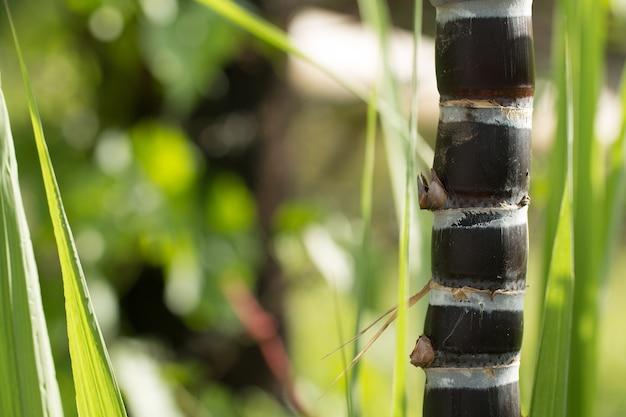 Fim acima da planta de cana-de-açúcar negra