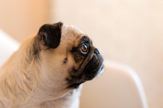 Fim bonito branco engraçado bonito do cão do pug que faz acima a cara triste que espera o alimento.