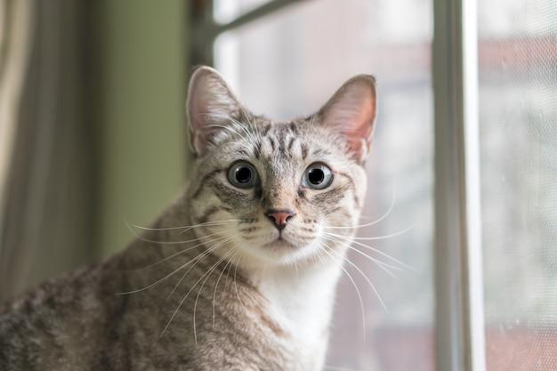 Fim bonito do gato que olha acima para fora a janela.