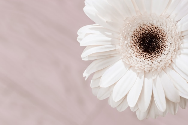Fim branco delicado da flor do gerbera acima no fundo colorido creme. cartão florido natural, banner para websate sobre o conceito de natureza ou ambiente