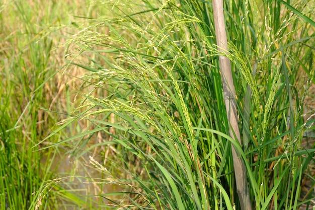 Fim, cima, arroz, campos
