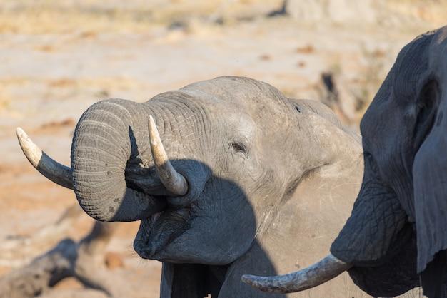 Fim, cima, e, retrato, de, um, jovem, elefante africano, bebendo, de, waterhole