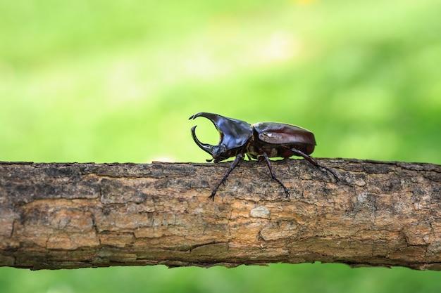 Fim, cima, macho, luta, besouro, (rinoceronte, beetle), ligado, árvore