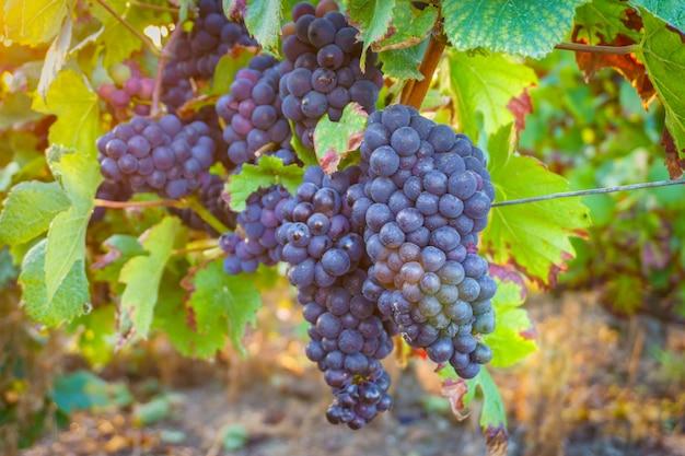 Fim, cima, videira, uvas, em, champanhe, região, em, outono, colheita, reims, frança