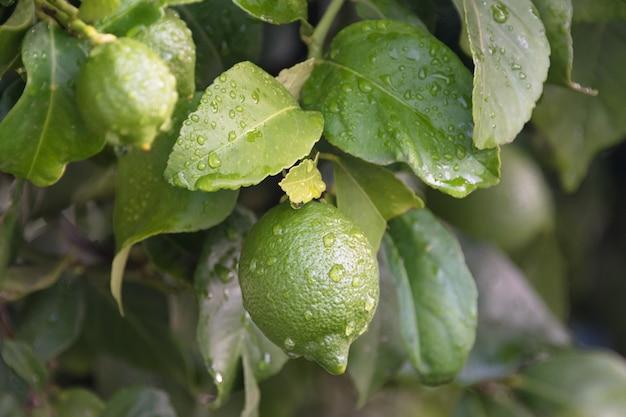 Fim de amadurecimento da árvore de limão dos frutos acima. limas de limão verde fresco com gotas de água pendurado no galho de árvore no jardim orgânico