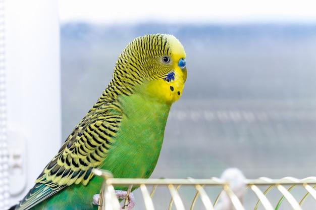 Fim do animal de estimação do pássaro do periquito australiano acima.