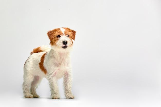 Fim do cachorrinho de jack russell terrier acima no branco, copyspace. fotografia de estúdio