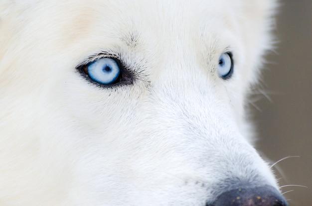 Fim do cão do cão de puxar trenós siberian acima da face com olhos azuis. cão husky tem cor de pele branca pura.