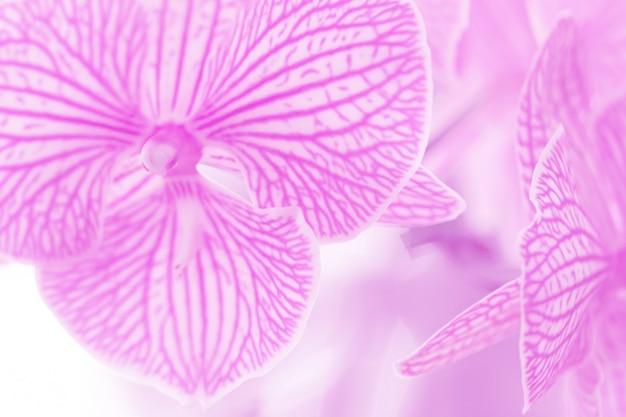 Fim do foco seletivo acima das orquídeas roxas bonitas do phalaenopsis. fundo borrado da flor.