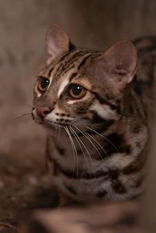 Fim do homem do gato de leopardo (bengalensis de prionailurus) acima no jardim zoológico.