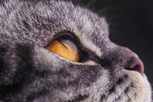 Fim do olho de gato amarelo escuro acima. série de gato listrado preto.