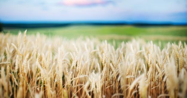 Fim dourado do trigo das orelhas do campo de trigo. papel de parede.
