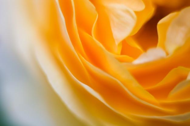 Fim fresco da rosa acima da fotografia macro das pétalas.