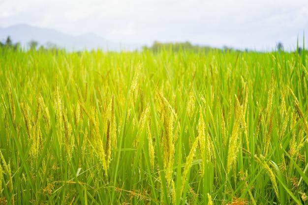 Fim tailandês dourado orgânico do arroz do jasmim acima.