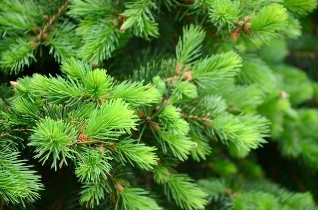 Fim verde macio da refeição matinal da árvore de abeto acima.