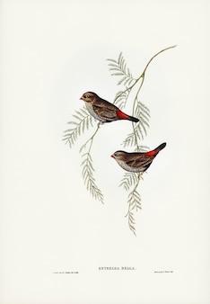 Finch de cauda de fogo ilustrado por elizabeth gould