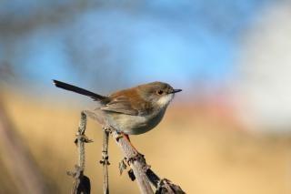 Finch no galho