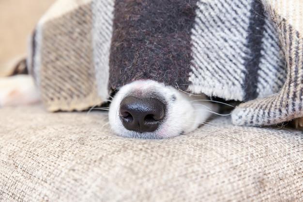 Fique em casa. retrato engraçado do cachorrinho border collie que encontra-se no sofá sob a manta dentro.