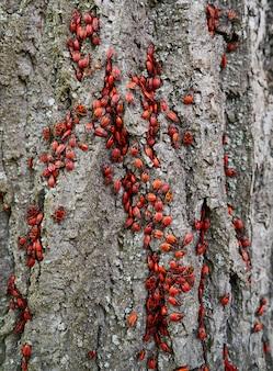 Firebug pyrrhocoris apterus praga em um tronco de árvore