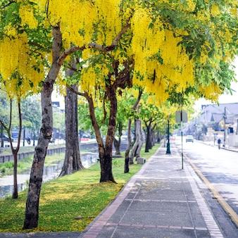 (fístula de cassia, árvore de chuva dourada) flor amarela florescendo na beira da estrada em abril ao redor da parede velha, chiang mai, tailândia