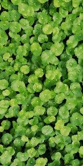 Fitoterapia folhas de centella asiatica conhecido como gotu kola