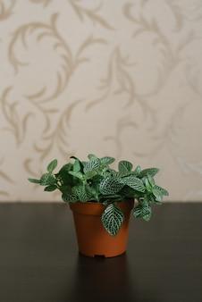 Fittonia da planta de casa - verde escuro com listras brancas no pote marrom na superfície marrom e no fundo estampado da parede.