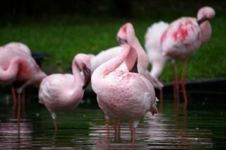 Flamengos-de-rosa, de água doce