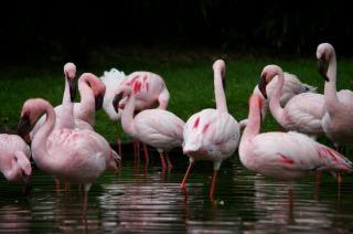 Flamengos-de-rosa, muito