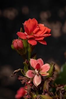 Flaming katy red flower da espécie kalanchoe blossfeldiana