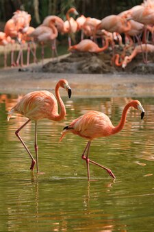 Flamingo americano phoenicopterus ruber pássaro