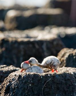 Flamingo caribenho de dois filhotes em um ninho. cuba. reserva rio maximã â °.