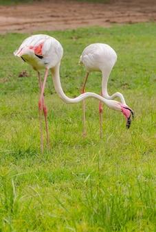 Flamingo está comendo comida no prado