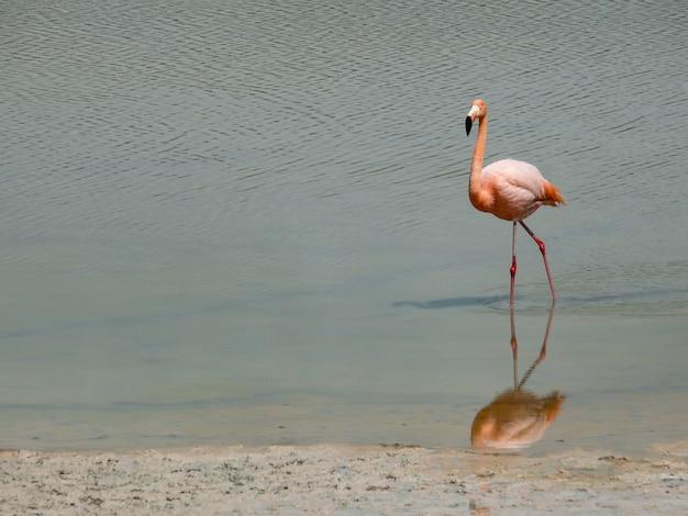 Flamingo na costa da lagoa
