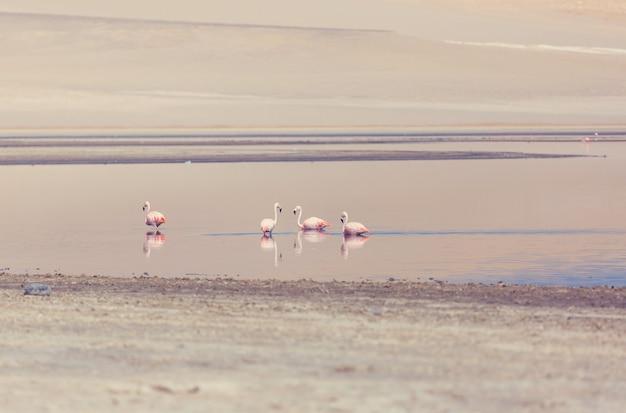 Flamingo no peru